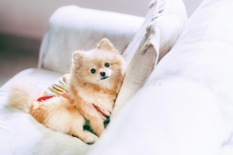 基于沙发,愉快的宠物概念的逗人喜爱的pomeranian狗,与拷贝空间 库存照片