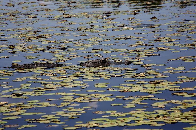 基于河的Aligator Myakka河 库存照片