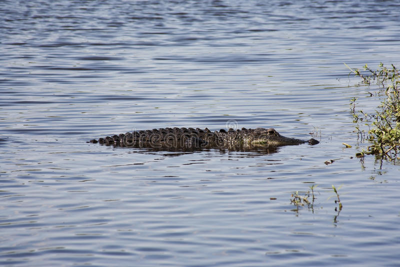 基于河的Aligator Myakka河 库存图片