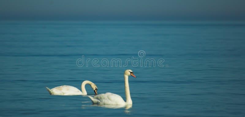 基于波罗的海的蓝色镇静水的白色尊严的天鹅 免版税库存照片