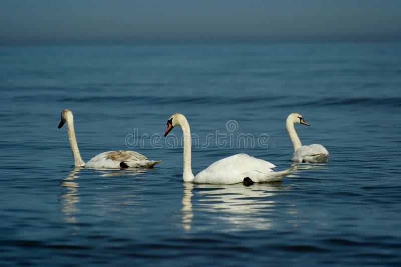 基于波罗的海的蓝色镇静水的白色尊严的天鹅 免版税图库摄影