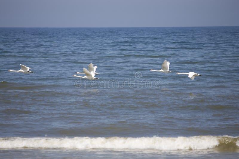 基于波罗的海的蓝色镇静水的白色尊严的天鹅 库存图片