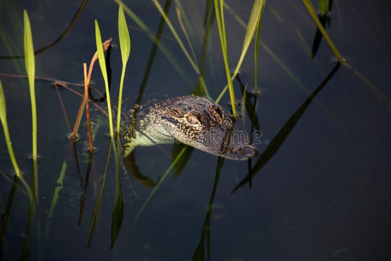 基于湖的年轻aligator 在与绿草的自然背景 库存图片