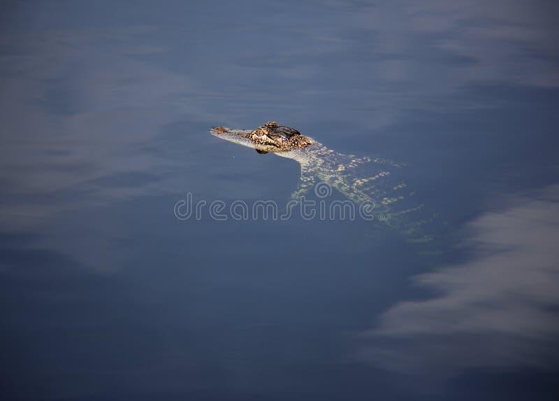 基于湖的年轻aligator 在自然背景 库存照片