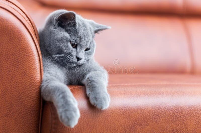 基于皮革沙发的幼小逗人喜爱的猫 与蓝灰色毛皮的英国Shorthair小猫 库存照片