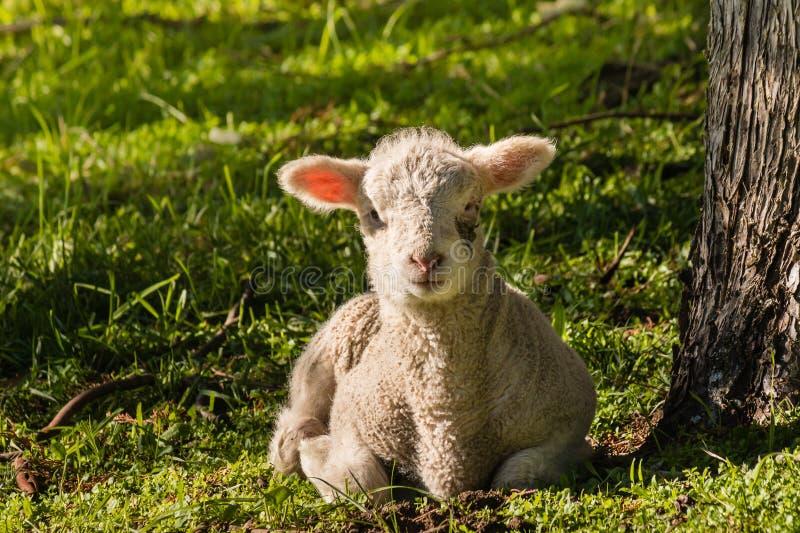 基于草的小的羊羔在树下 库存照片