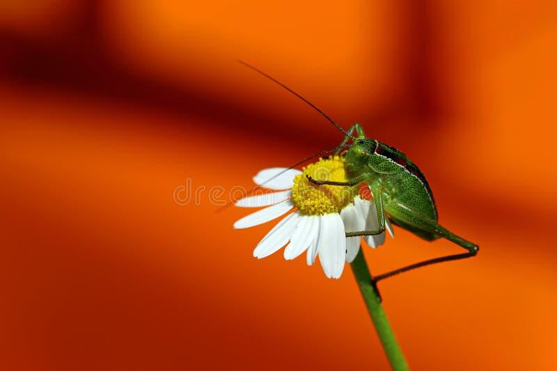 基于雏菊的蚂蚱的特写镜头 免版税库存照片