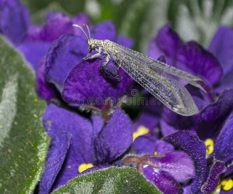 基于非洲紫罗兰室内植物的蚁狮昆虫 库存照片