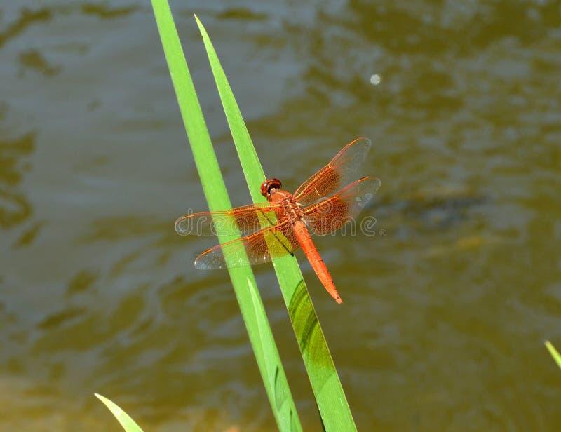 基于玻璃的橙色蜻蜓在百合池塘 库存照片