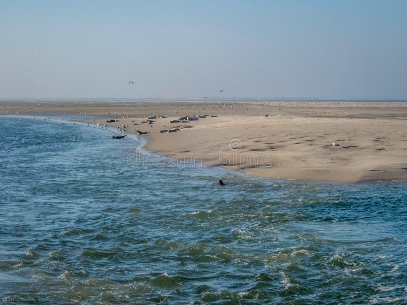 基于Wadden Se的含沙岸的老和年轻封印 免版税库存照片