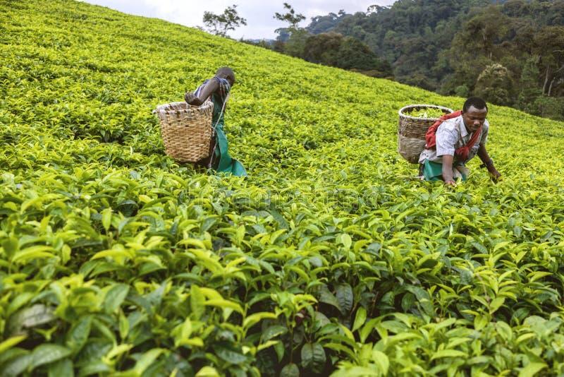 基加利,卢旺达- 2015年9月6日:未认出的工作者 两个非洲人在茶园 免版税库存图片