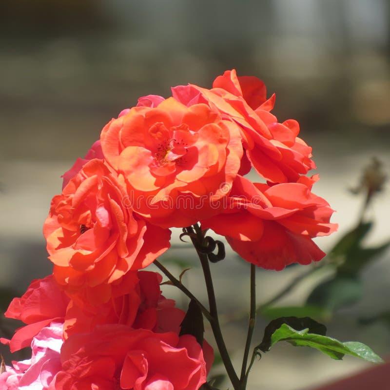 巴基斯坦的花 库存照片
