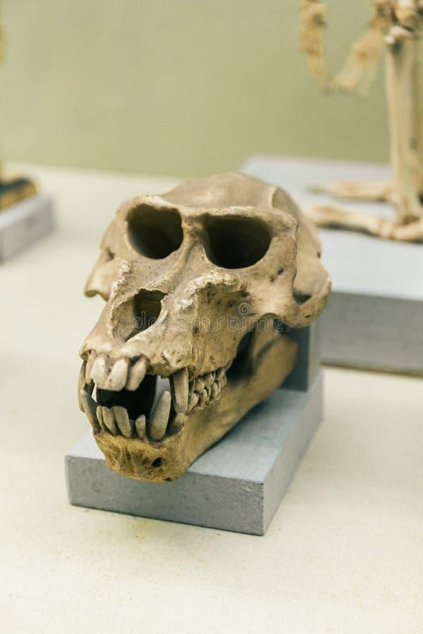 基辅,乌克兰- 2018年6月16日:乌克兰的自然科学国家博物馆  猴子头骨,猿解剖学 大猩猩骨头 库存图片