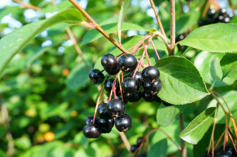 黑堂梨属灌木(aronia melanocarpa)灌木用成熟莓果 免版税库存图片