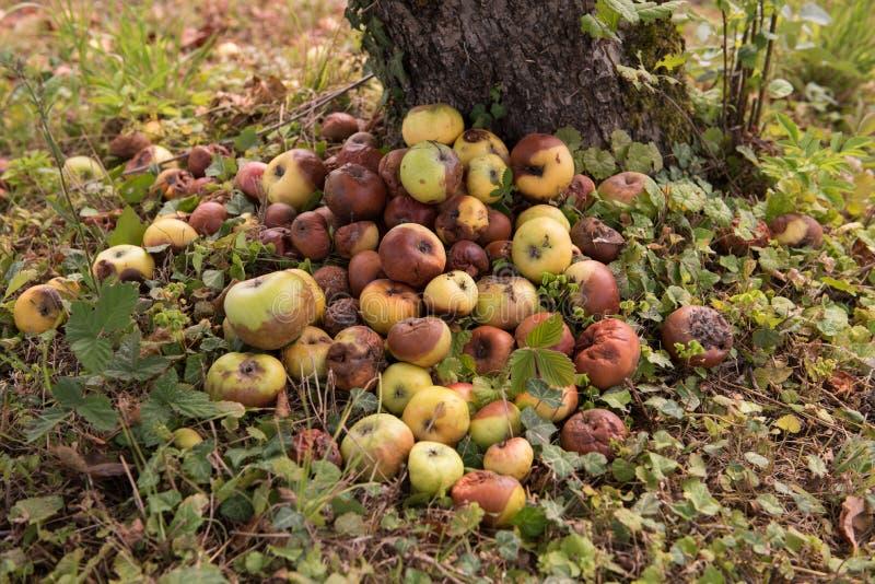 堆在地面上的腐烂的苹果本质上在苹果树附近的 果子 分解的苹果 库存图片