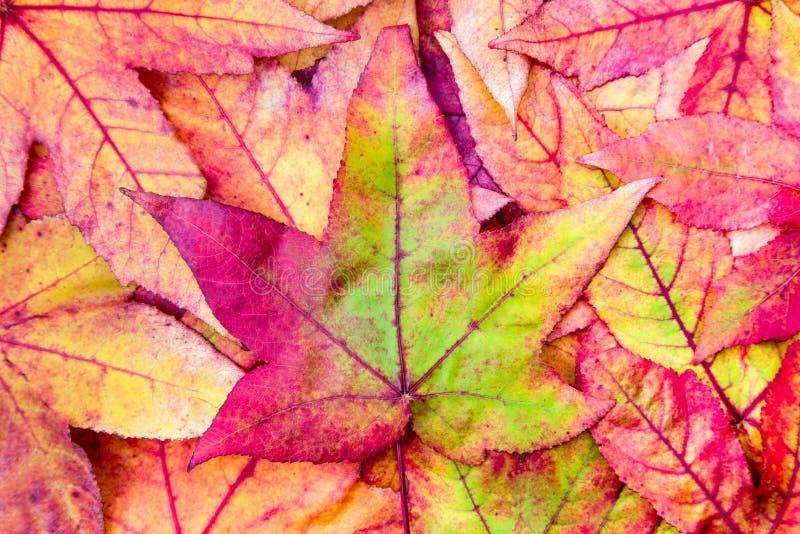 堆在秋天颜色的槭树叶子 免版税库存图片