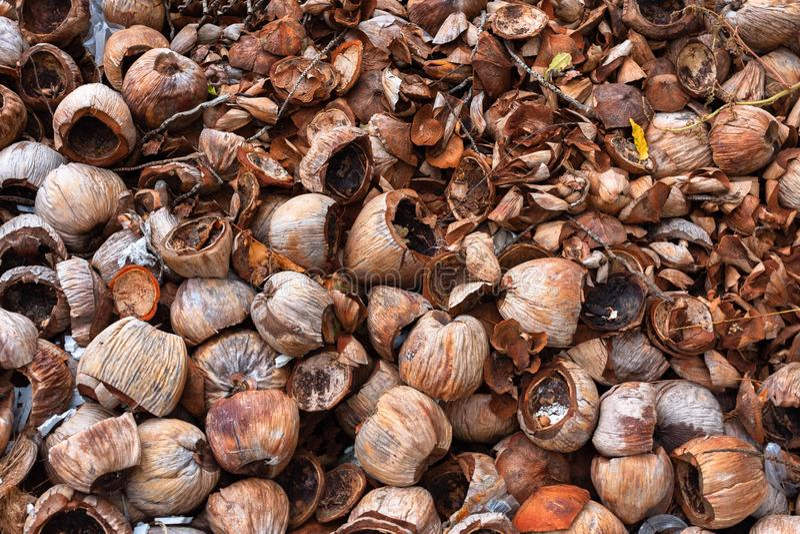 堆干椰子果壳果皮是自然有机天然肥料或肥料水栽法植物家庭雀鳝优良品质原料  库存照片