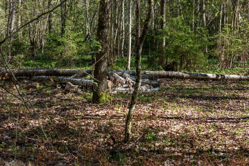 堆新近地被切开的日志木头在森林里 库存图片