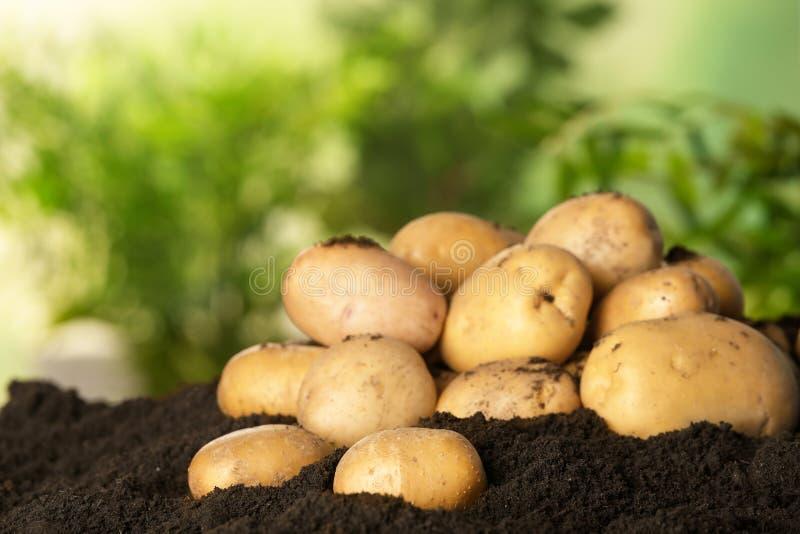 堆新鲜的有机土豆 库存图片