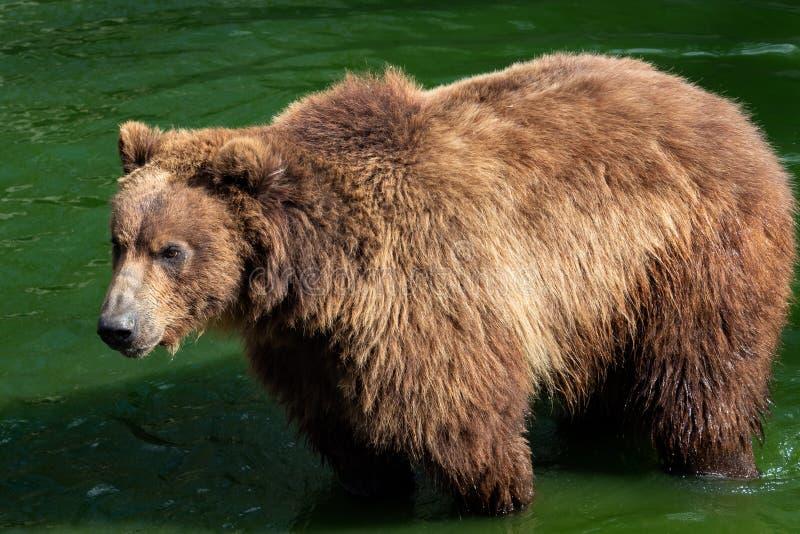 堪察加熊在水中 库存照片