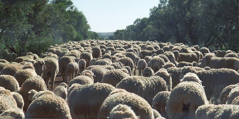堵塞羊羔 免版税库存照片