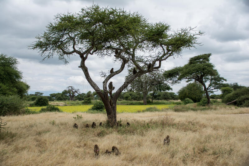 塔兰吉雷国家公园,坦桑尼亚-狒狒 库存图片