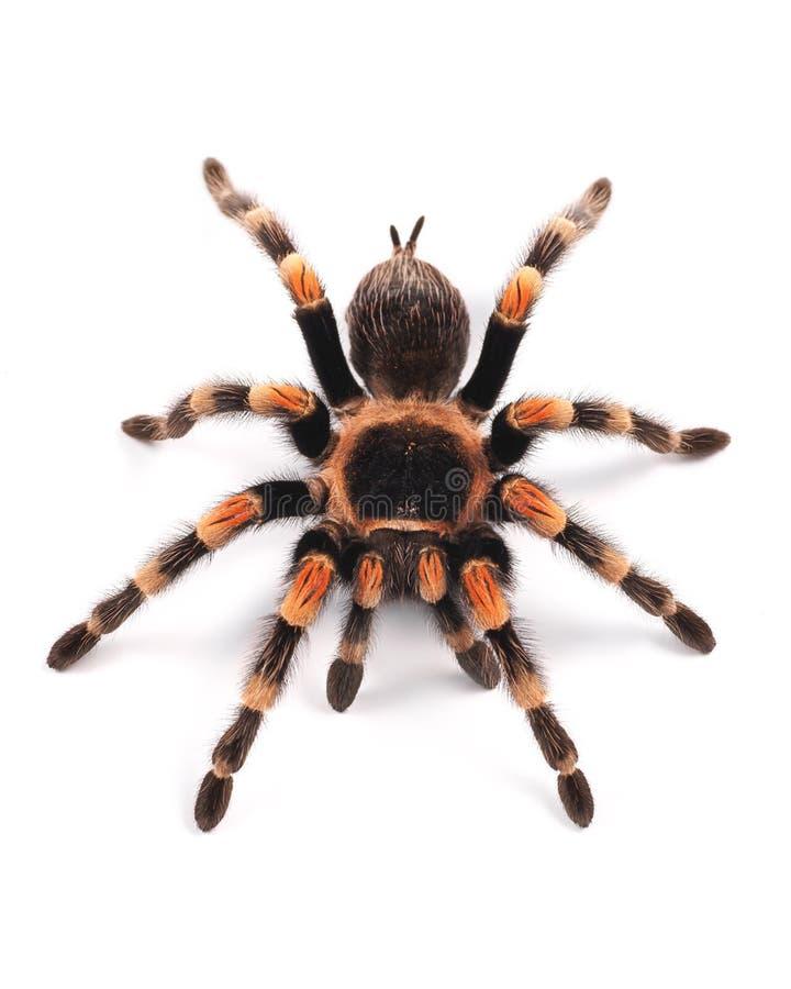 塔兰图拉毒蛛蜘蛛,女性 免版税库存照片