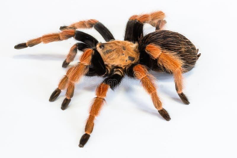 塔兰图拉毒蛛Brachypelma boehmei 库存照片