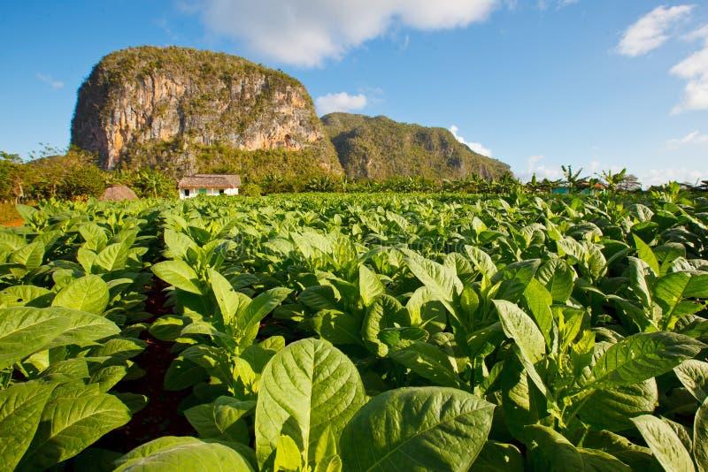 塔巴克种植园Vinales -古巴 免版税库存图片