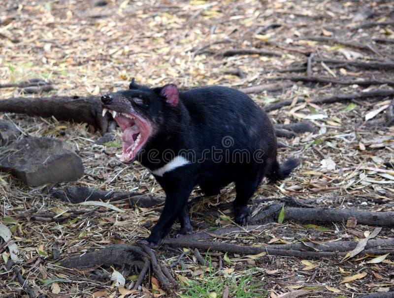 塔斯马尼亚恶魔,塔斯马尼亚岛 免版税库存图片