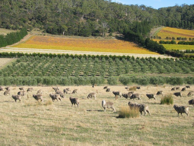 塔斯马尼亚的绵羊 免版税图库摄影