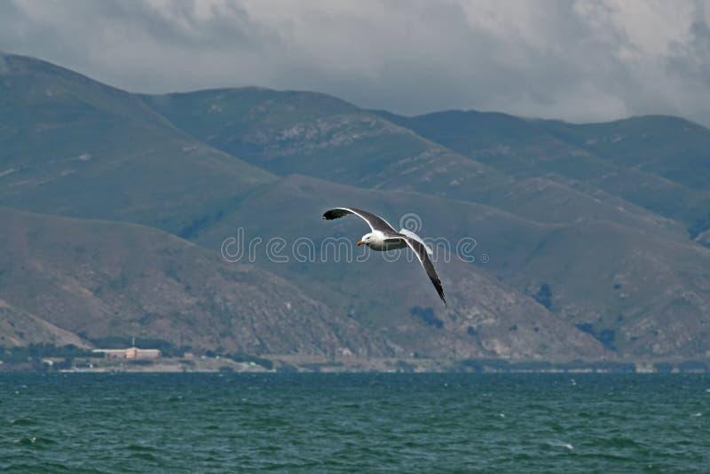 塞万的海鸥飞行 图库摄影