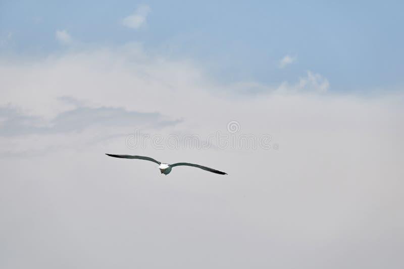 塞万的海鸥飞行 库存照片