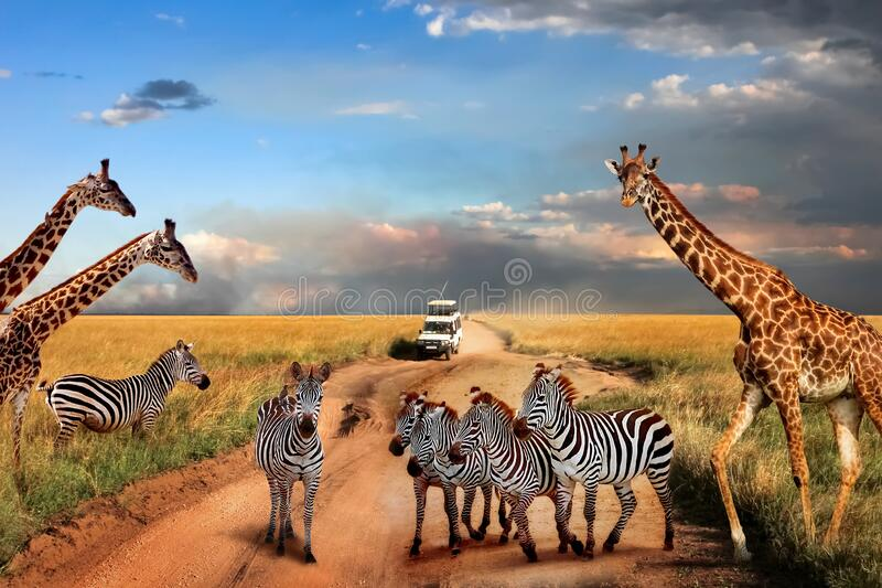 塞伦盖蒂国家公园路上的斑马和长颈鹿 非洲 坦桑尼亚 免版税图库摄影
