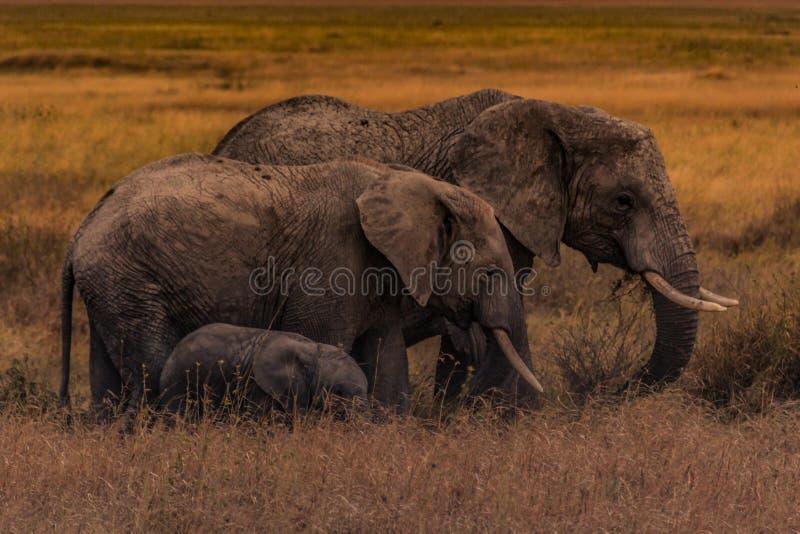 塞伦盖蒂平原的大象家庭 免版税库存图片