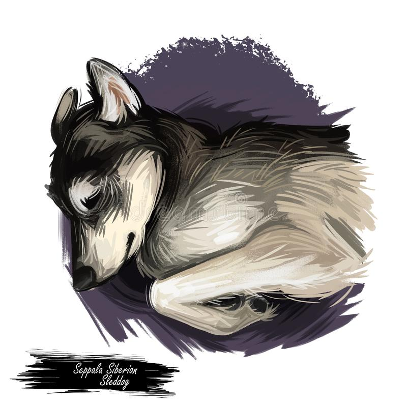 塞佩莱西伯利亚人Sleddog睡觉狗数字艺术 纯血统家畜放置,被隔绝的手水彩画象  皇族释放例证