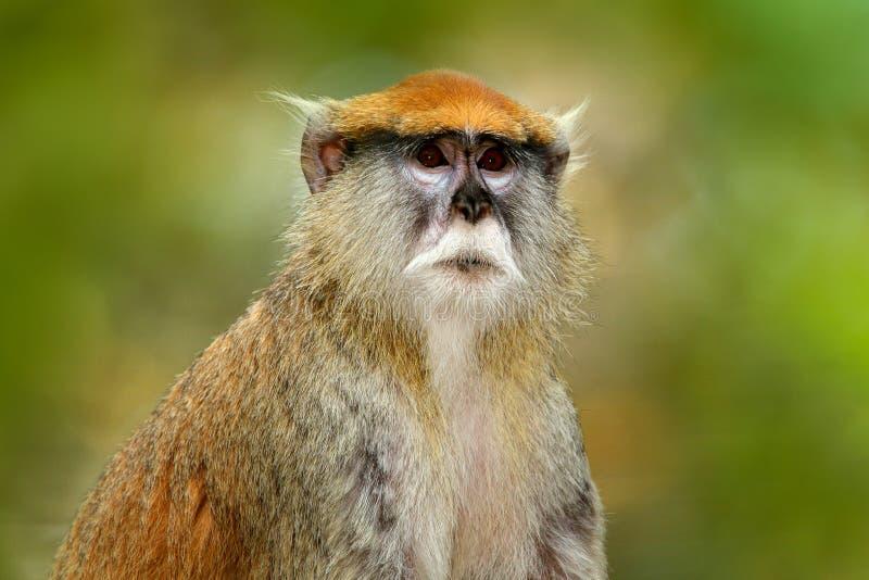 塞内加尔的绿色野生生物 Patas轻骑兵猴子,赤猴patas,坐在黑暗的热带森林动物的树枝本质上 图库摄影