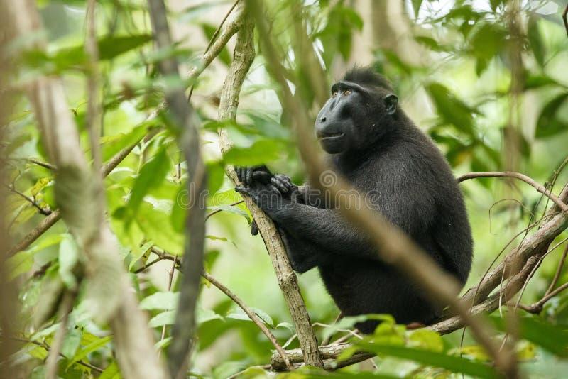 塞利比斯顶饰在树的分支的短尾猿 E 地方性黑有顶饰短尾猿或黑猿 ?? 图库摄影