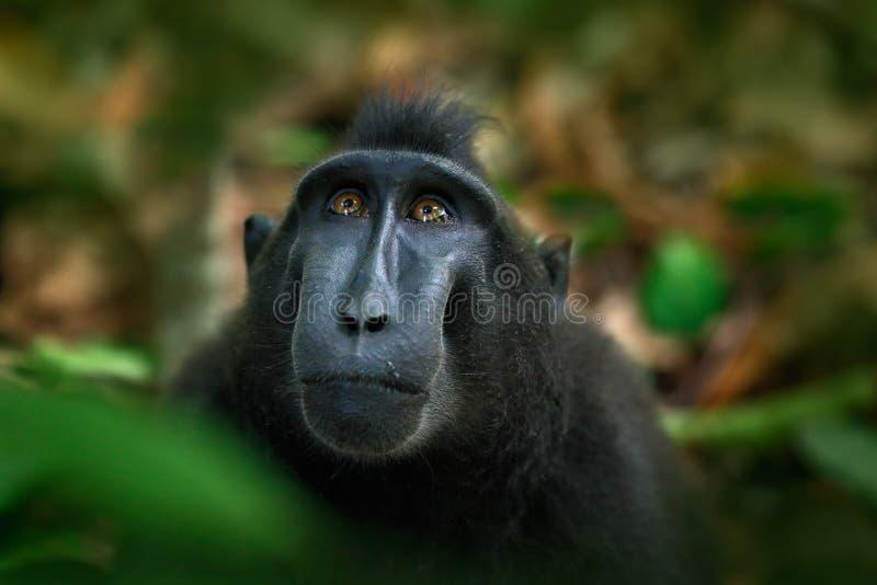 塞利比斯顶饰短尾猿,猕猴属老黑,黑猴子,细节画象,坐在自然栖所,黑暗的热带森林, wildlif 图库摄影