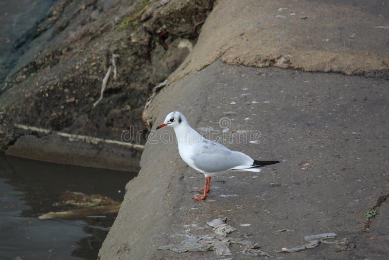 塞尔维亚贝尔格莱德萨瓦河岸海鸥 库存照片
