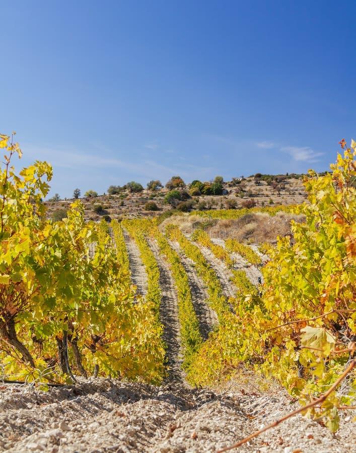 塞浦路斯马利亚附近岩石山坡之间的秋季葡萄园,有黄叶 库存照片
