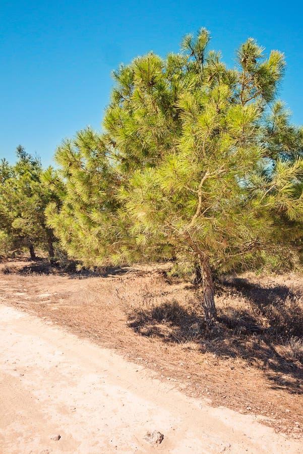 塞浦路斯Ayia Napa,海角格雷科半岛,杉树树丛,在kavo格雷科的路在全国森林公园 免版税库存照片