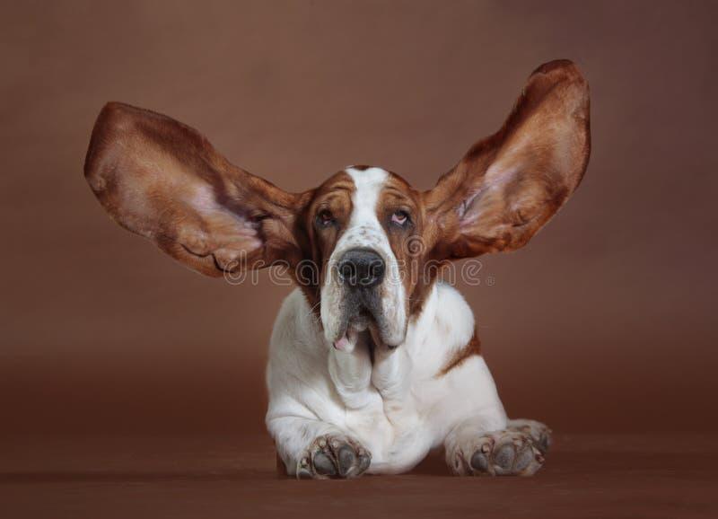 贝塞猎狗耳朵狗 免版税库存图片