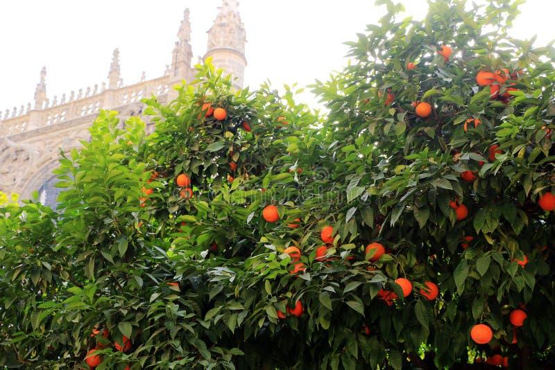 塞维利亚大教堂和橙树、塞维利亚的标志和西班牙 库存图片