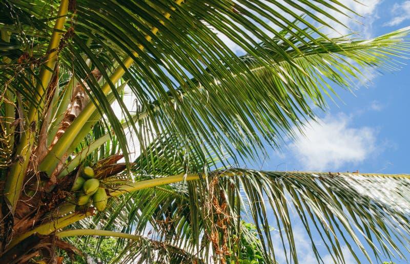 塞舌尔棕榈树用椰子 库存图片