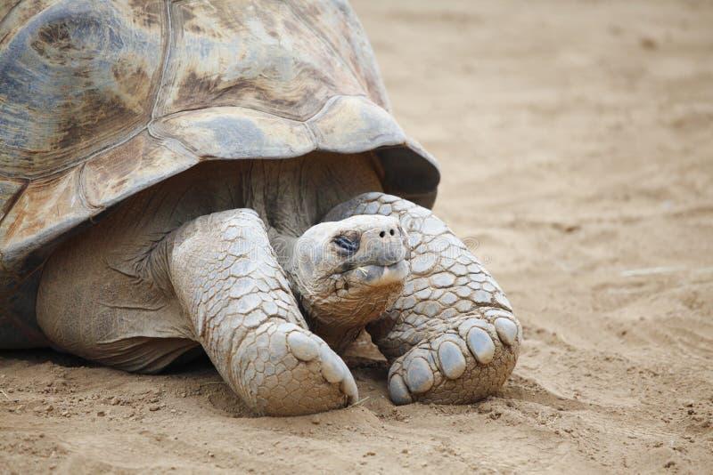 塞舌尔群岛乌龟 免版税库存图片