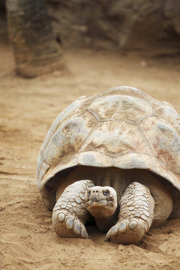 塞舌尔群岛乌龟 免版税库存照片