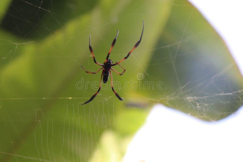 塞舌尔香蕉蜘蛛蜘蛛动物 库存照片
