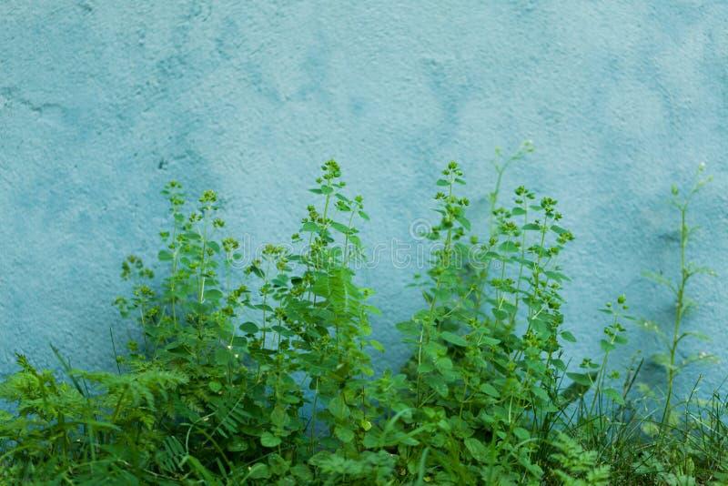 墙壁的植物前面在夏天 库存照片