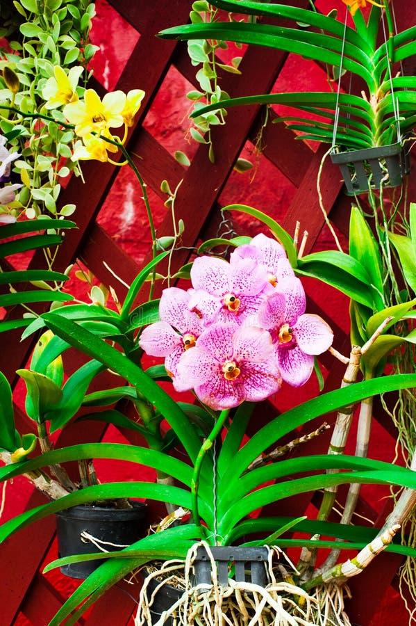 热带兰花花 图库摄影